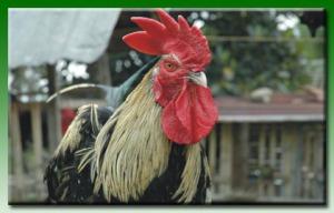 ayam pelung cianjur kab