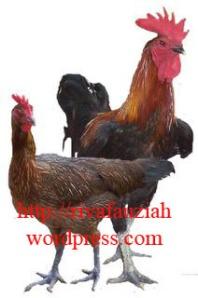 Ayam Pelung Cianjur